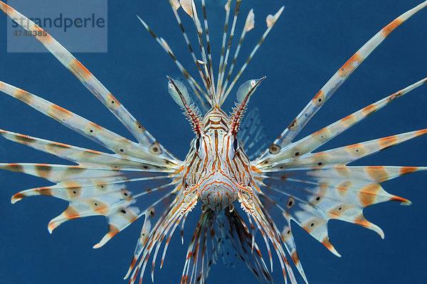 Indischer Rotfeuerfisch (Ptrois volitans), frontal, in Drohgebärde, im blauen Meerwasser, Haschemitisches Königreich Jordanien, Rotes Meer, Vorderasien
