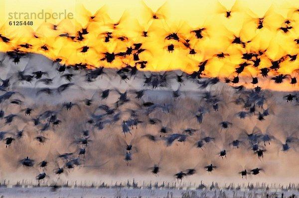 Vereinigte Staaten von Amerika, USA ,aufwärts ,Entspannung ,Vogelschwarm, Vogelschar ,Nacht ,Teich ,Gans ,New Mexico ,Schnee