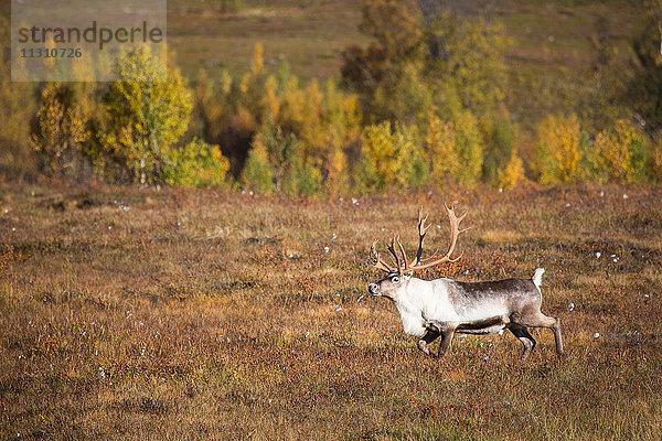 Europa,Herbst,Herbstfarben,Jahreszeit,Landschaft,Lappland