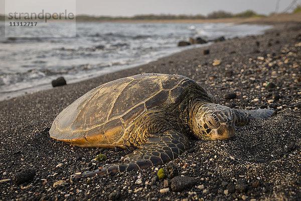 Amerika,Big Island,Gewässer,grüne Schildkröte,Hawaii,Kaloko-Honokohau