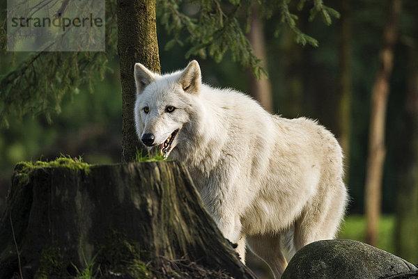 canis lupus,grauer Wolf,Tier,weisse Phase,Wolf