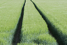 Tracks durch Weizenfeld