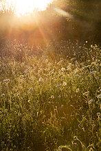 Sommerwiese bei Abenddämmerung