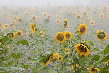 Sonnenblumenfeld im Frühnebel im Herbst bei Radolfzell am Bodensee, Baden-Württemberg, Deutschland, Europa, ÖffentlicherGrund