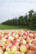 Baum,ernten,füllen,füllt,füllend,frontal,groß,großes,großer,große,großen,Close-up,Feld,Obstgarten,Apfel,Reihe,Deutschland