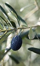 Baum,schwarz,Olive